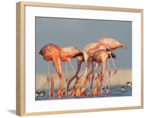 Pigments in Brine Shrimp Give Flamingo Feathers their Coral Hue-Klaus Nigge-Framed Art Print
