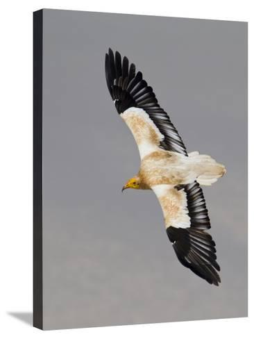 An Egyptian Vulture in Flight Above Detwah Lagoon-Michael Melford-Stretched Canvas Print