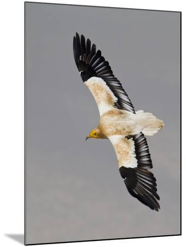 An Egyptian Vulture in Flight Above Detwah Lagoon-Michael Melford-Mounted Photographic Print