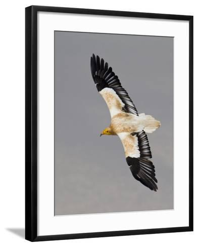 An Egyptian Vulture in Flight Above Detwah Lagoon-Michael Melford-Framed Art Print