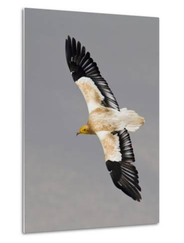 An Egyptian Vulture in Flight Above Detwah Lagoon-Michael Melford-Metal Print