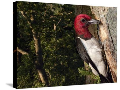 A Red-Headed Woodpecker Perches by its Nest Cavity-Joel Sartore-Stretched Canvas Print