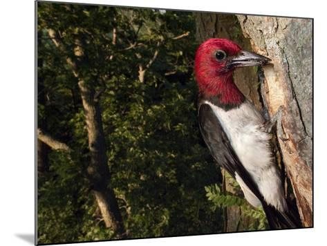 A Red-Headed Woodpecker Perches by its Nest Cavity-Joel Sartore-Mounted Photographic Print