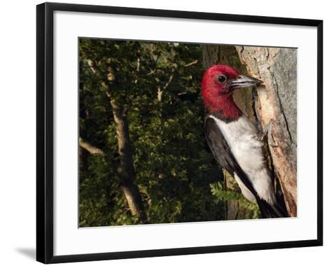 A Red-Headed Woodpecker Perches by its Nest Cavity-Joel Sartore-Framed Art Print