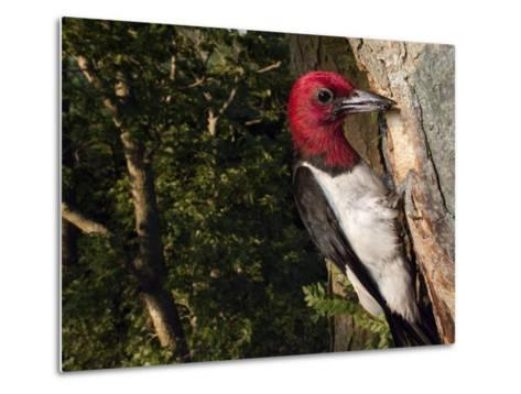 A Red-Headed Woodpecker Perches by its Nest Cavity-Joel Sartore-Metal Print
