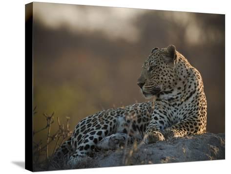 A Leopard, Panthera Pardus, Resting-Beverly Joubert-Stretched Canvas Print