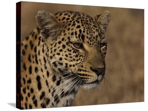 Portrait of a Leopard, Panthera Pardus-Beverly Joubert-Stretched Canvas Print