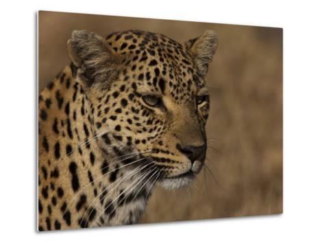 Portrait of a Leopard, Panthera Pardus-Beverly Joubert-Metal Print