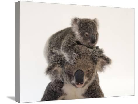 A Federally Threatened Koala Climbs on Top of its Mother, Who Has Conjunctivitis-Joel Sartore-Stretched Canvas Print