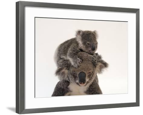 A Federally Threatened Koala Climbs on Top of its Mother, Who Has Conjunctivitis-Joel Sartore-Framed Art Print