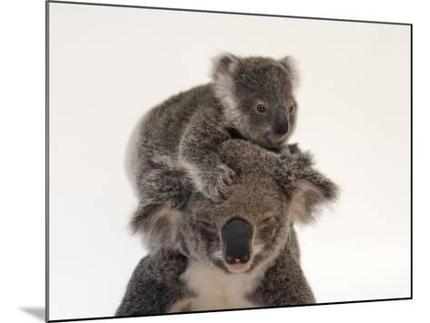 A Federally Threatened Koala Climbs on Top of its Mother, Who Has Conjunctivitis-Joel Sartore-Mounted Photographic Print
