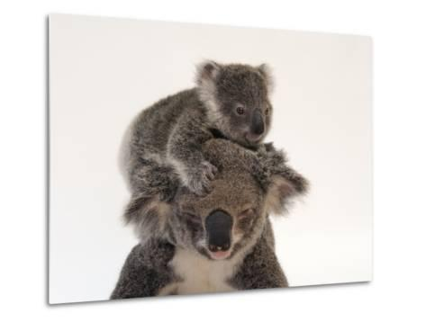 A Federally Threatened Koala Climbs on Top of its Mother, Who Has Conjunctivitis-Joel Sartore-Metal Print