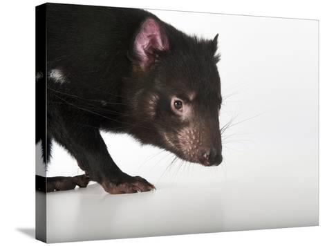 An Endangered Tasmanian Devil, Sarcophilus Harrisii-Joel Sartore-Stretched Canvas Print
