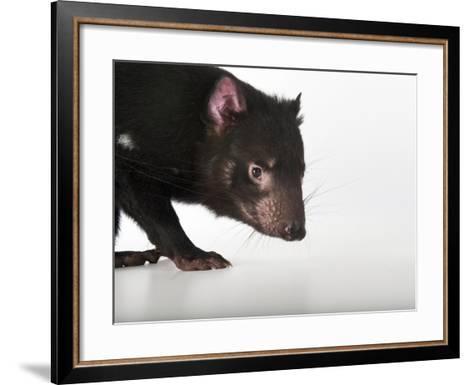 An Endangered Tasmanian Devil, Sarcophilus Harrisii-Joel Sartore-Framed Art Print
