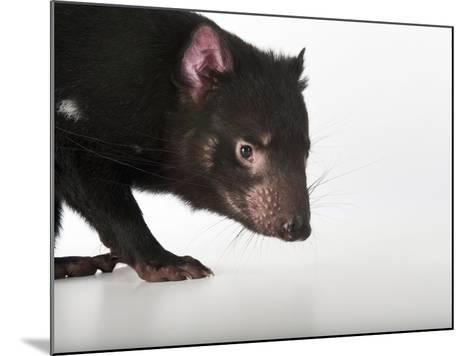 An Endangered Tasmanian Devil, Sarcophilus Harrisii-Joel Sartore-Mounted Photographic Print