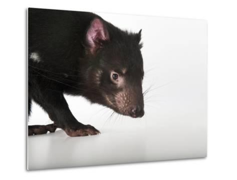 An Endangered Tasmanian Devil, Sarcophilus Harrisii-Joel Sartore-Metal Print