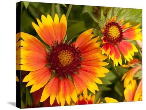 Close Up of Blanket Flowers, Gaillardia Species-Darlyne A^ Murawski-Stretched Canvas Print