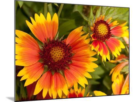 Close Up of Blanket Flowers, Gaillardia Species-Darlyne A^ Murawski-Mounted Photographic Print