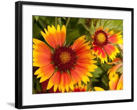 Close Up of Blanket Flowers, Gaillardia Species-Darlyne A^ Murawski-Framed Art Print
