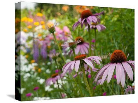 Purple Coneflower and Other Flowers in a Cape Cod Garden-Darlyne A^ Murawski-Stretched Canvas Print