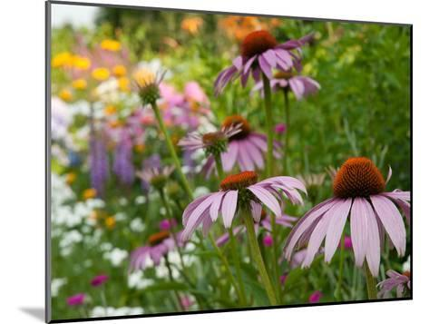 Purple Coneflower and Other Flowers in a Cape Cod Garden-Darlyne A^ Murawski-Mounted Photographic Print