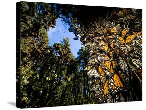 Monarch Butterflies Cover Every Inch of a Tree in Sierra Chincua-Joel Sartore-Stretched Canvas Print