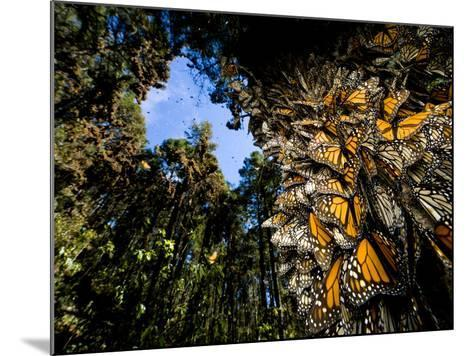 Monarch Butterflies Cover Every Inch of a Tree in Sierra Chincua-Joel Sartore-Mounted Photographic Print