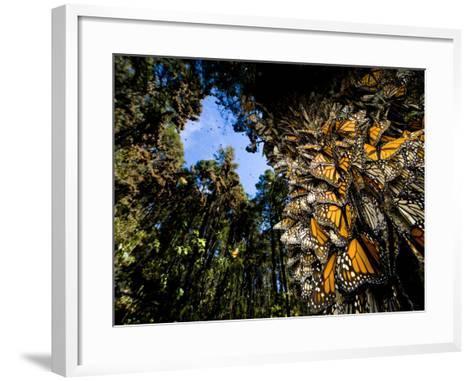 Monarch Butterflies Cover Every Inch of a Tree in Sierra Chincua-Joel Sartore-Framed Art Print