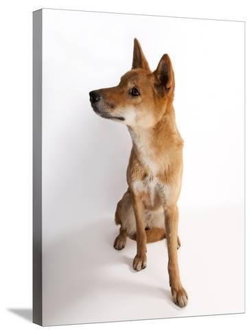 A Dingo or Warrigal, Canis Lupus Dingo-Joel Sartore-Stretched Canvas Print