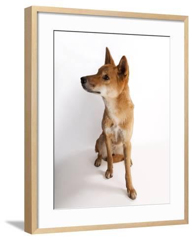 A Dingo or Warrigal, Canis Lupus Dingo-Joel Sartore-Framed Art Print