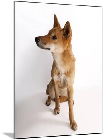 A Dingo or Warrigal, Canis Lupus Dingo-Joel Sartore-Mounted Photographic Print