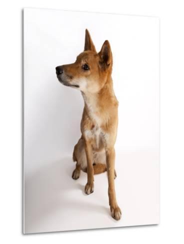A Dingo or Warrigal, Canis Lupus Dingo-Joel Sartore-Metal Print
