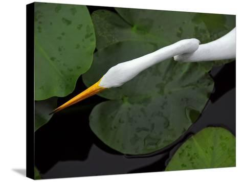 An Orange-Beaked Great White Egret Hunting Among Wetland Lily Pads-Raymond Gehman-Stretched Canvas Print