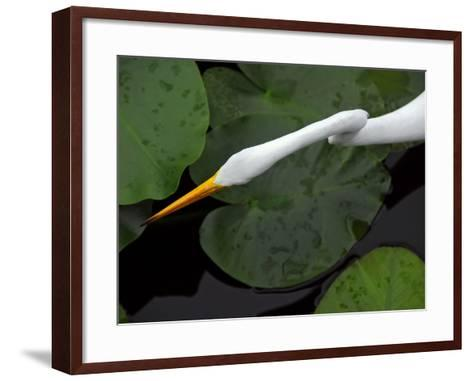 An Orange-Beaked Great White Egret Hunting Among Wetland Lily Pads-Raymond Gehman-Framed Art Print