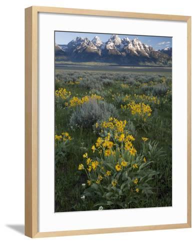 Arrowleaf Balsamroot, Balsamhoriza Sagittata, and the Teton Range-Greg Winston-Framed Art Print