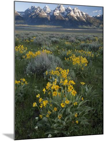 Arrowleaf Balsamroot, Balsamhoriza Sagittata, and the Teton Range-Greg Winston-Mounted Photographic Print