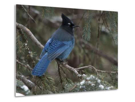 Steller's Jay, Cyanocitta Stelleri, in Winter, in Northwest Wyoming-Greg Winston-Metal Print