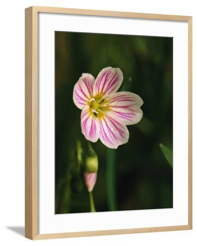 A Spring Beauty Flower Blooming in the Great Smoky Mountains-George F^ Mobley-Framed Art Print