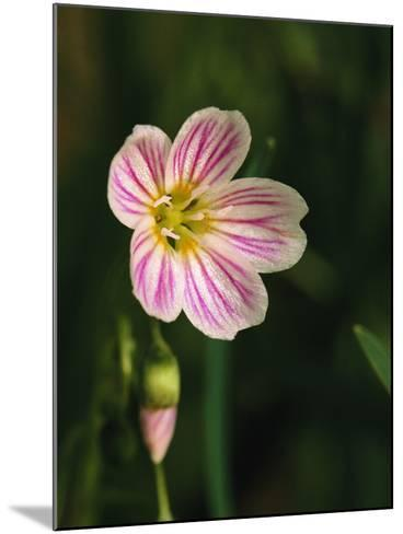 A Spring Beauty Flower Blooming in the Great Smoky Mountains-George F^ Mobley-Mounted Photographic Print