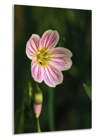 A Spring Beauty Flower Blooming in the Great Smoky Mountains-George F^ Mobley-Metal Print