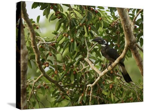 Bushy-Crested Hornbill, Anorrhinus Galeritus, in a Strangler Fig Tree-Tim Laman-Stretched Canvas Print