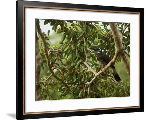 Bushy-Crested Hornbill, Anorrhinus Galeritus, in a Strangler Fig Tree-Tim Laman-Framed Art Print