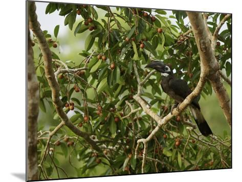Bushy-Crested Hornbill, Anorrhinus Galeritus, in a Strangler Fig Tree-Tim Laman-Mounted Photographic Print