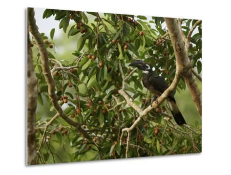 Bushy-Crested Hornbill, Anorrhinus Galeritus, in a Strangler Fig Tree-Tim Laman-Metal Print
