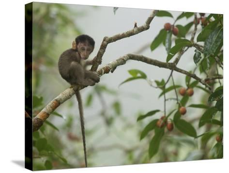 Baby Long-Tailed Macaque, Macaca Fascicularis, in a Strangler Fig-Tim Laman-Stretched Canvas Print