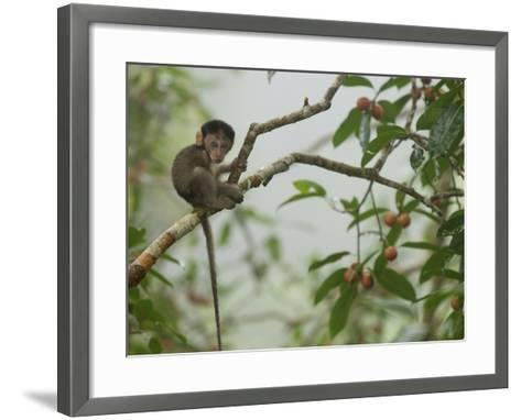 Baby Long-Tailed Macaque, Macaca Fascicularis, in a Strangler Fig-Tim Laman-Framed Art Print