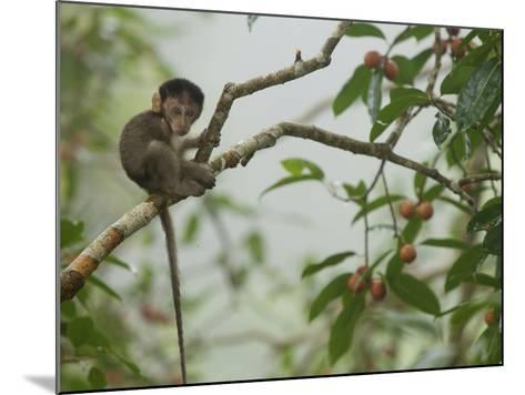 Baby Long-Tailed Macaque, Macaca Fascicularis, in a Strangler Fig-Tim Laman-Mounted Photographic Print