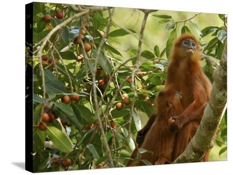 A Red Leaf Monkey Nursing Her Baby in Strangler Fig Tree-Tim Laman-Stretched Canvas Print
