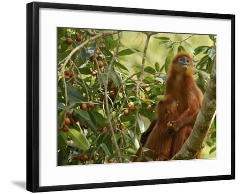 A Red Leaf Monkey Nursing Her Baby in Strangler Fig Tree-Tim Laman-Framed Art Print