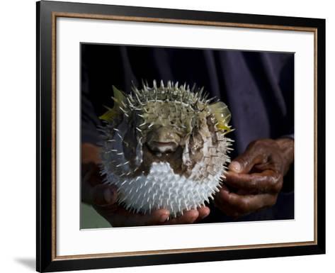 A Man Holds a Puffer Fish-Michael Melford-Framed Art Print